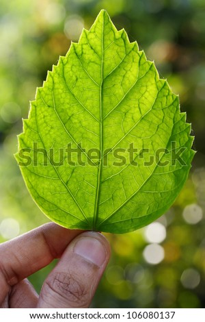 Holding a green leaf of Hibiscus - stock photo