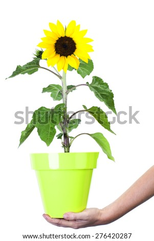 Holding flower pot with sunflower on white background Environment and nature protection concepts - stock photo