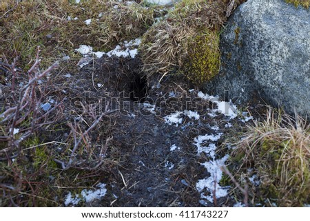Hole of european water vole (arvicola amphibius). Hailstones on the ground. Photographed in 2016 at Helgeland archipelago, Norway, where vole population has increased enormously.   - stock photo