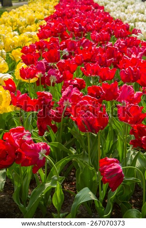 holland bright red  tulip   flowers  striped field close up  - stock photo