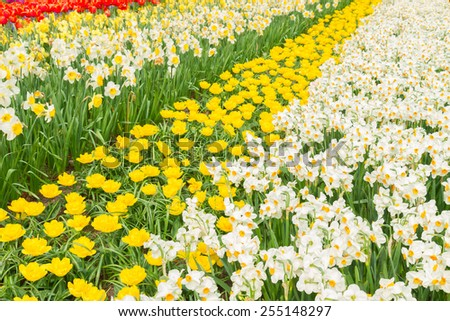 holland bright yellow tulip  and daffodil flowers  striped field - stock photo