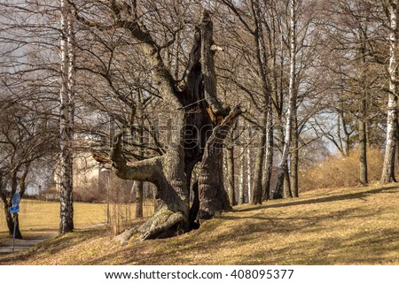 Hollow old tree. Dead hollow oak tree surrounded by birches. Tree with chain that helping to cope with stress, break, breakup of relationship. Devastated object continues to live. Sunny spring day. - stock photo