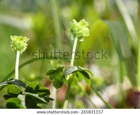 Hollowroot (Adoxa moschatellina) - stock photo