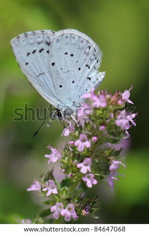 Holly Blue butterfly (Celastrina argiolus) - stock photo