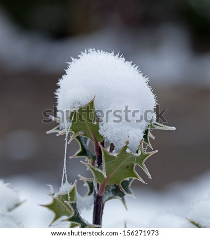 Holly branch topped with snow and cobwebs looking like a snow cone - stock photo