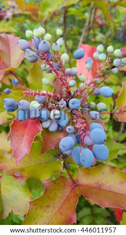 Holly-leaved barberry, the Oregon grape is a shrub native to much of the Pacific coast. Its year-round foliage of waxy green leaves. It bears dark blue berry that ripen late in the fall. - stock photo