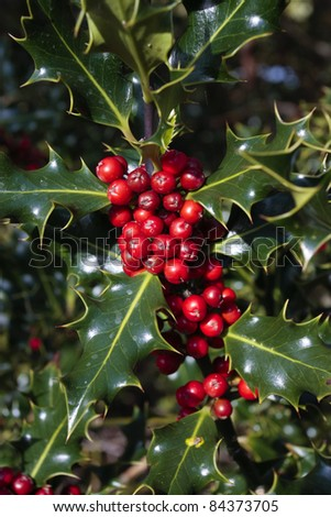 Holly plant branch with ripe red berries in autumn - stock photo