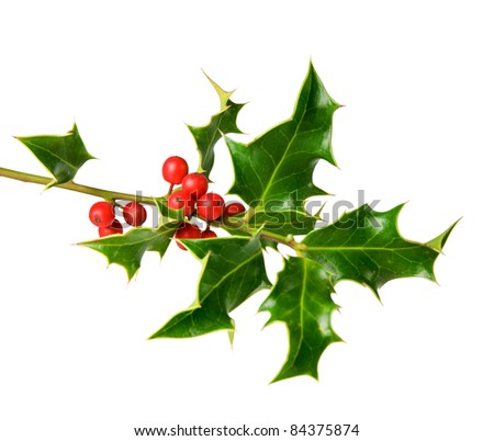 holly tree twig with berries isolated on white background - stock photo