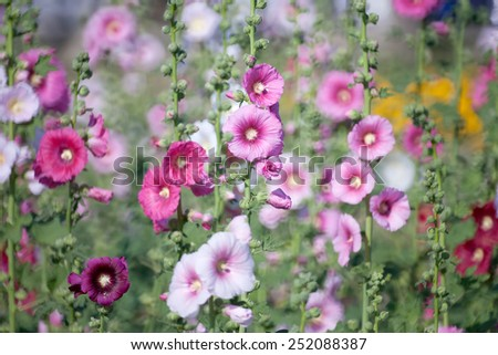 Hollyhock flower in the nature - stock photo