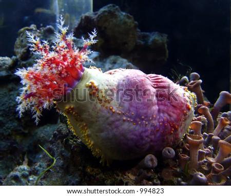 Holothurian in sea aquarium - stock photo