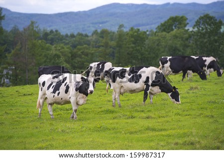 holstein - stock photo