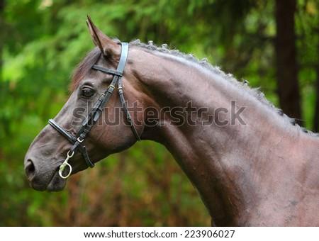Holstein bay horse portrait in autumn background - stock photo