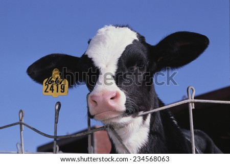 Holstein Calf with Eartag - stock photo