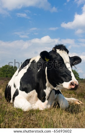 Holstein cow - stock photo