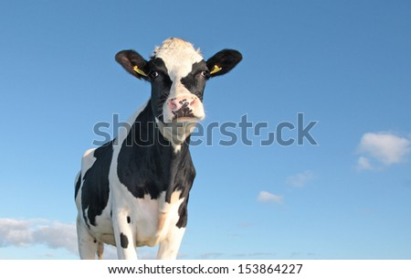 holstein cow against a blue sky - stock photo