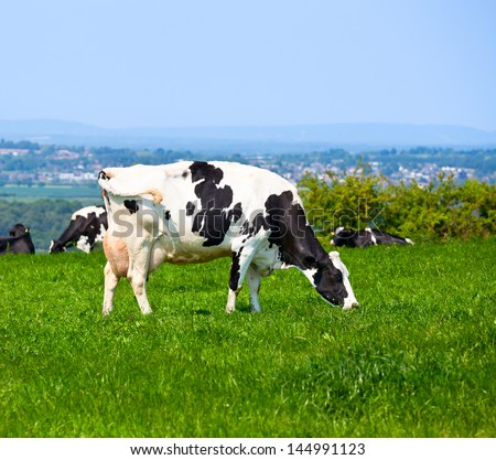 Holstein cow grazing at pasture in England - stock photo