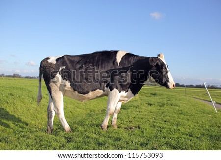 holstein cow in a field, in front of an electric fence wire - stock photo