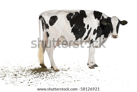 Holstein cow pooping, 5 years old, in front of white background - stock photo