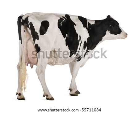 Holstein cow, 5 years old, standing against white background - stock photo