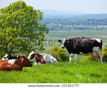 Holstein cows grazing at pasture in England - stock photo