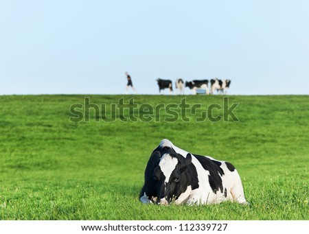 Holstein dairy cow resting on grass - stock photo