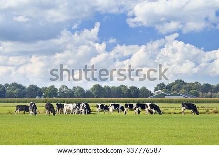Holstein-Friesian cattle in a green meadow, cornfield and farm on background, blue sky and dramatic cloud, The Netherlands. - stock photo
