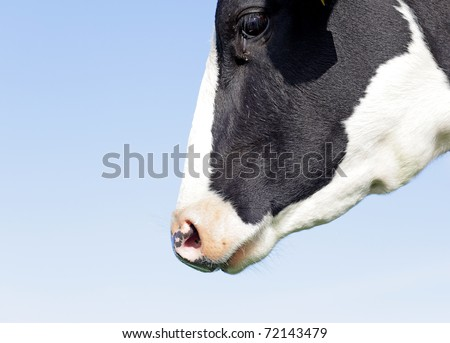 Holstein head - stock photo