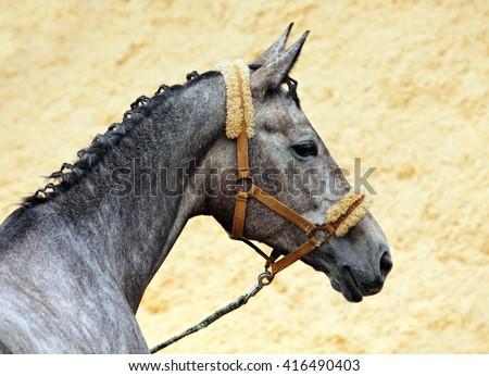 Holstein saddle horse portrait with halter - stock photo