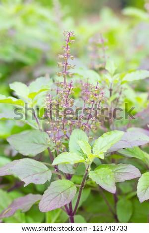 Holy basil plant. - stock photo