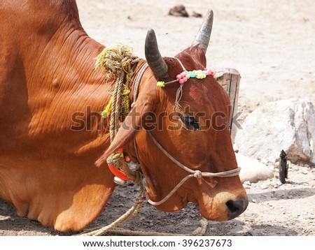 holy cow on the street of Varanasi India         - stock photo