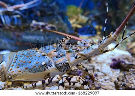 Homarus gammarus. Blue lobster - stock photo