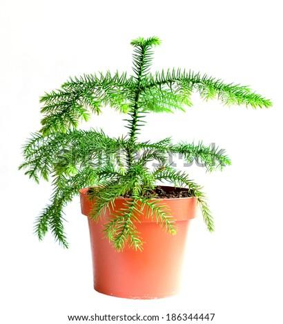 Home flower in a pot. araucaria - stock photo