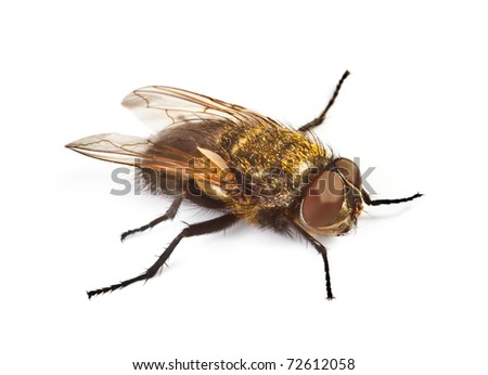 home fly on white background, focus set on head - stock photo