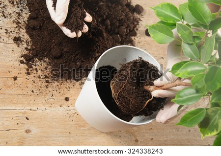 Home gardening relocating house plant, weeping fig - stock photo