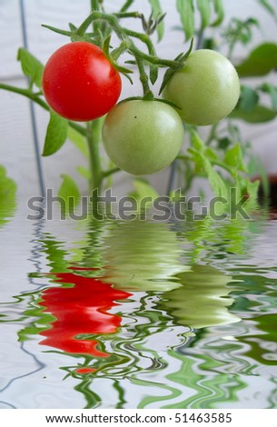 Home grown cherry tomatoes in different stages of ripening hanging from the vine with reflection in the water . - stock photo
