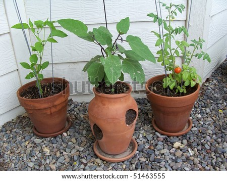 Home grown Japanese eggplant , hot pepper and cherry tomatoes in terracotta pots . - stock photo