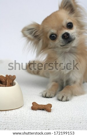 Home made bone shaped dog cookies with honey, whole wheat flour, banana and milk, longhair chihuahua waiting for a treat in background, focus on dog treat - stock photo