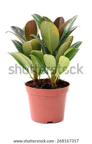 home plant in pot on white background - stock photo