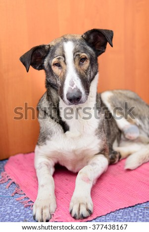 homeless sick dog with amputated paw in veterinary clinic - stock photo