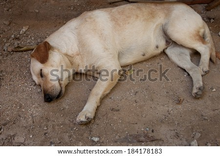 Homeless stray Thai dog.  - stock photo