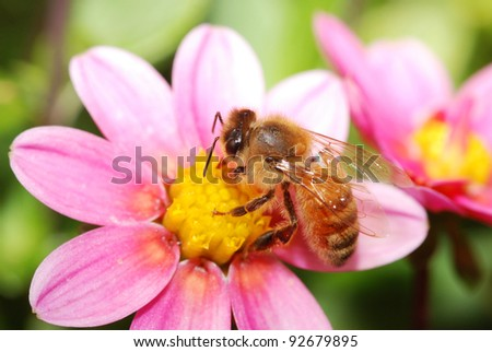 homey bee collecting nectar from a flower - stock photo