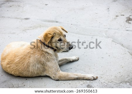 honest thai dog locking  lonely lay down on the floor - stock photo