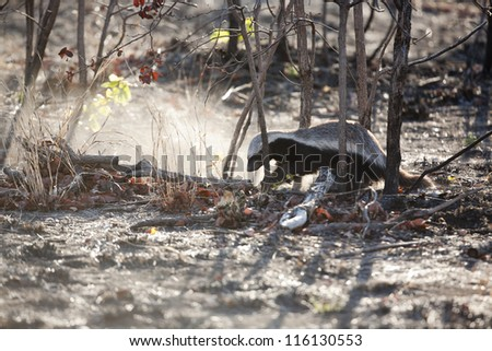 Honey Badger digging in a burnt field - stock photo