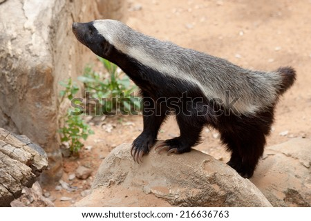 Honey badger standing on a stone - stock photo