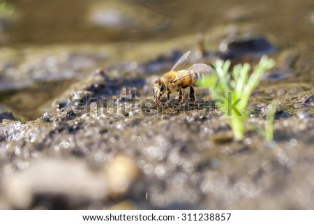 Honey bee - collect water - stock photo