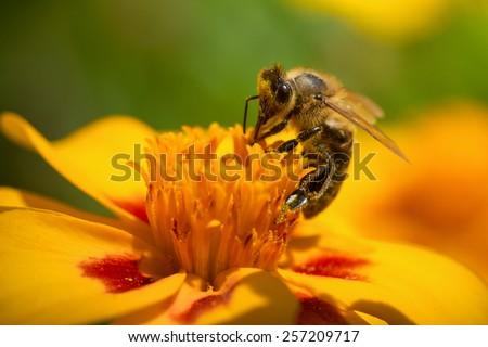 Honey bee collecting nectar  - stock photo