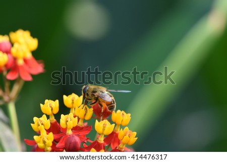 honey bee collecting nectar from beautiful milkweed plant - stock photo