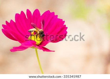 Honey bee collecting pollen and nectar  from pink cosmos flower. - stock photo