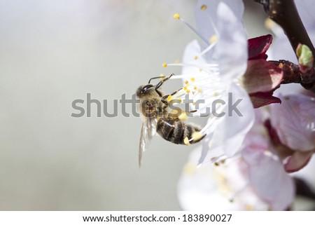Honey bee enjoying peach blossom on a lovely spring day - stock photo