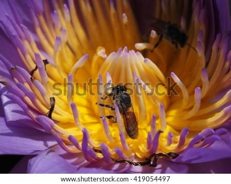honey bee foraging on blooming purple lotus - stock photo